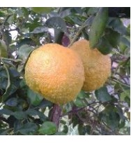 Kg Naranja Ecológica Amarga Sevillana Mermeladas