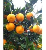 Kg Naranjas Tontas - Cañadu Ecológicas Sevillanas